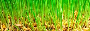 Цены на Семена газонной травы, фото